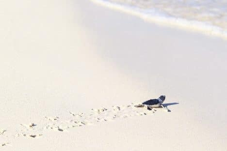 sea turtle making way to the gulf